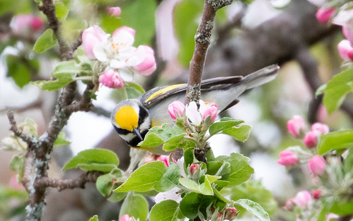 Odd Golden-winged Warbler hybrid