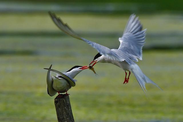 Sterne pierregarin --- common tern --- sterna hirondo