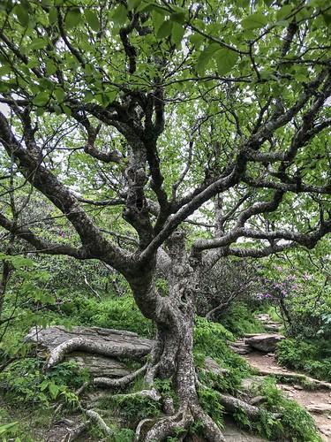 tree beech craggygardens brp nc northcarolina blueridgeparkway landscape