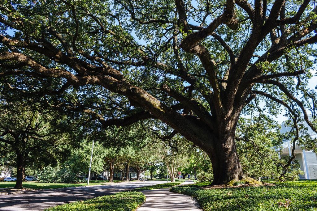 A massive live oak tree provides shade across a grassy lawn a sidewalk and a city street