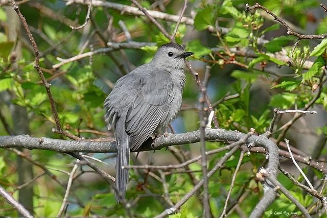 1.26200 Moqueur chat / Dumetella carolinensis / Gray Catbird