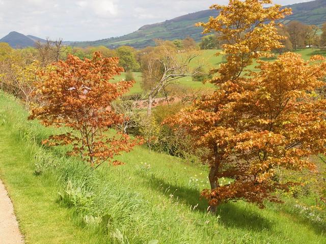 Powis Castle Garden: spring maples