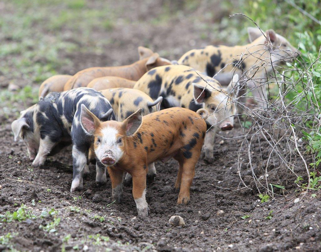 豬。圖片來源:WWF
