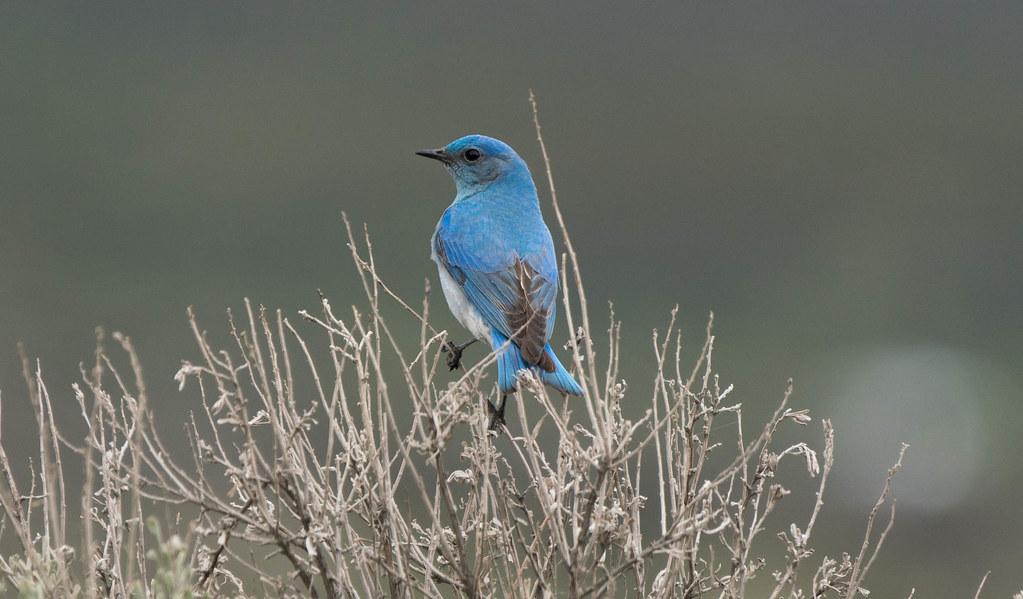 Mountain bluebird (1 of 1)