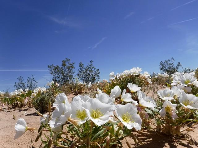 dune evening primrose