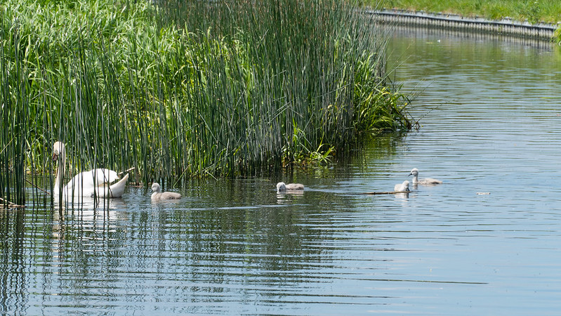 Swan family, reed bed, Castlecroft