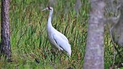 Wild Whooping Crane - Florida