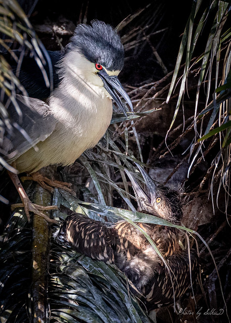 Black-crowned Night Heron and Chick
