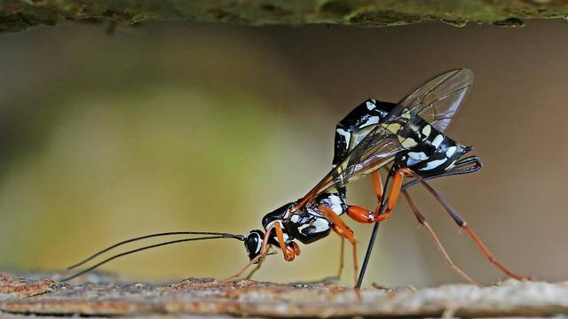 Ichneumon Sabre Wasp - Rhyssa persuasoria