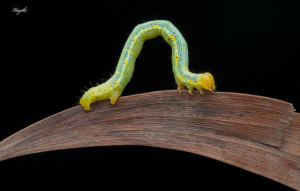 Looper! Geometridae moth caterpillar