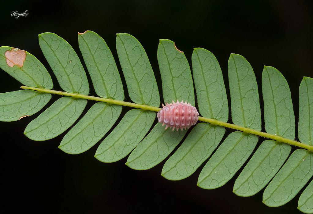 Ladybird pupa