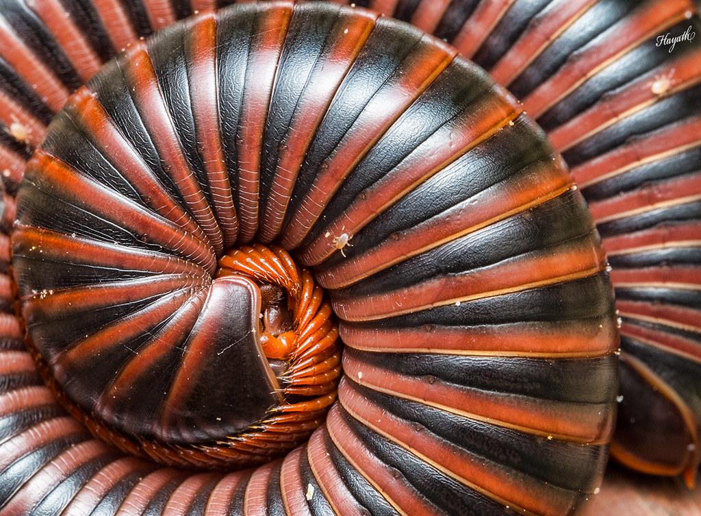 The Fibonacci spiral! Rolled up millipede