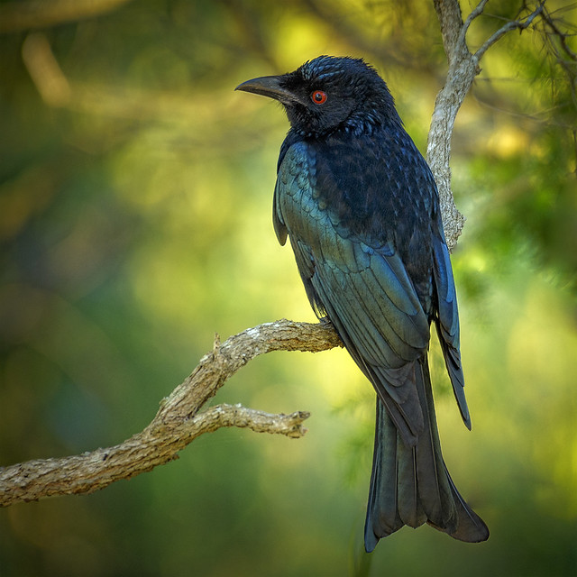 in the shadows -  spangled drongo