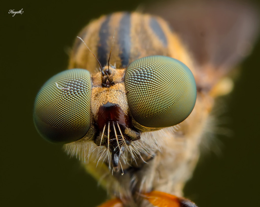 Compound eyes of the robberfly