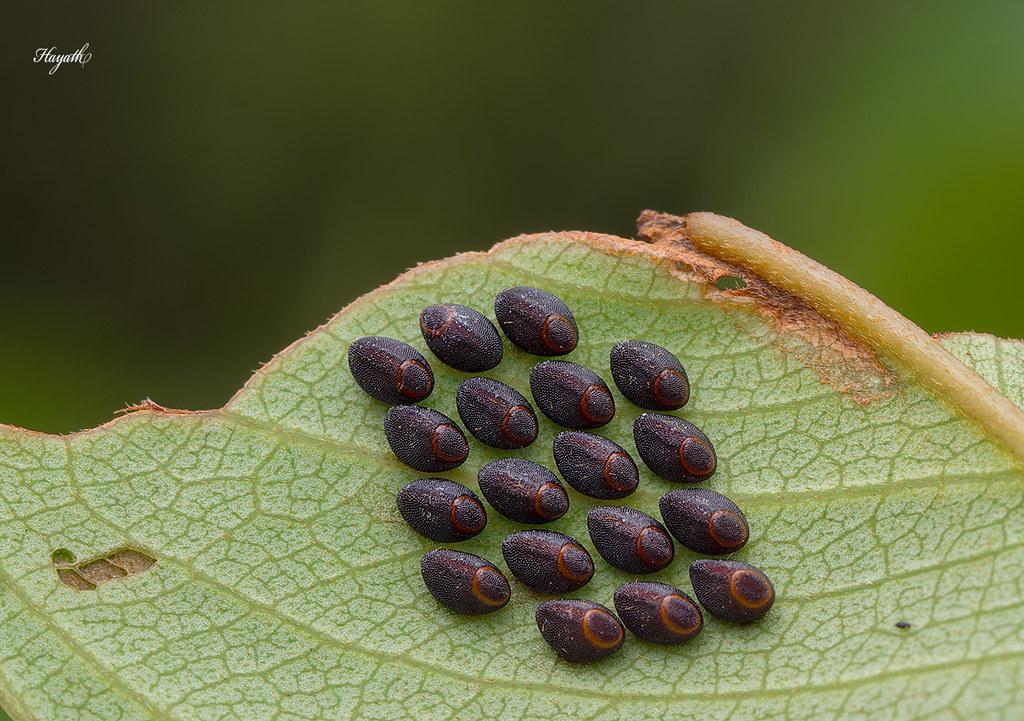 Coreidae eggs