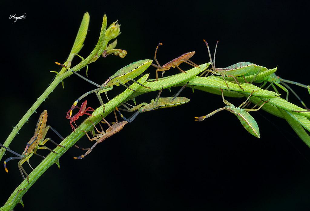 Coreidae nymphs