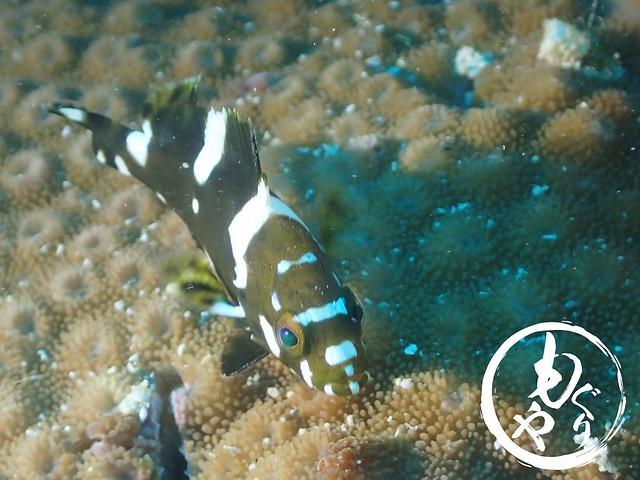 周りに馴染めずひとりいじけていたシロブチハタ幼魚くん。