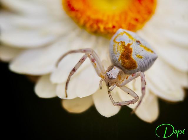 22-05/365_Araña Cangrejo