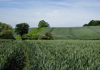 Corn fields, North downs