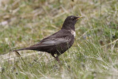 Ring Ouzel - Turdus torquatus | by Chris B@rlow