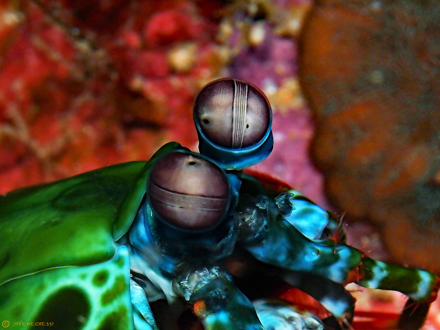 Eyes of Peacock Mantis Shrimp