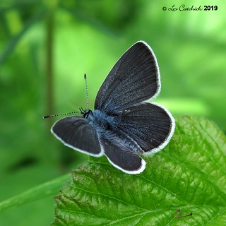 Small blue- male