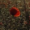 And the wind left in the poppy