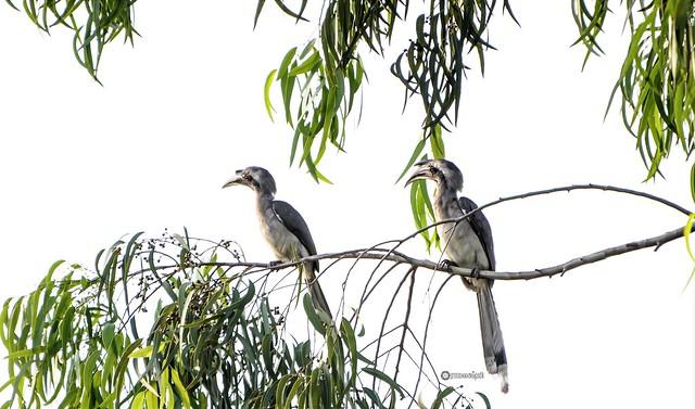 A pair of Indian Grey Hornbills