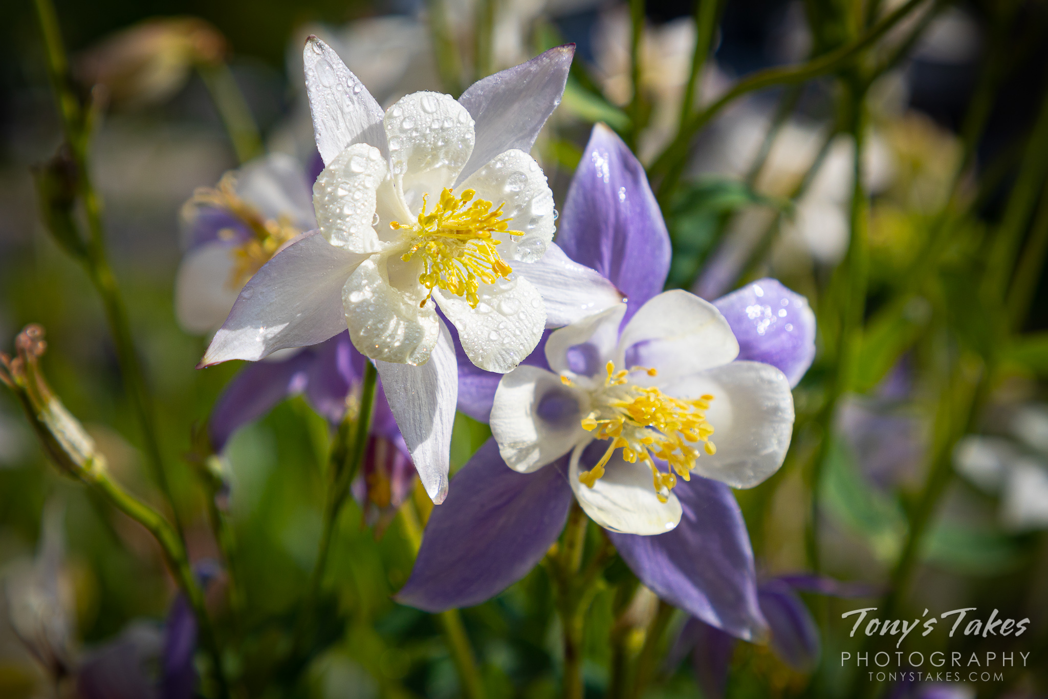Columbine flowers wet from a passing rain shower soak in the sun in Thornton, Colorado. (© Tony's Takes)
