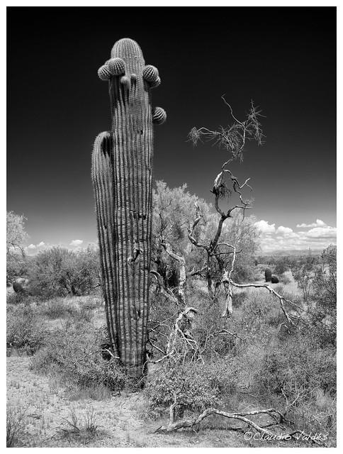 Saguaro Cactus (no.3)