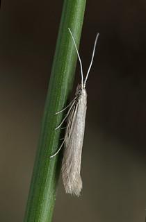 37.076  BF580 Coleophora sylvaticella