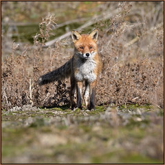 Red Fox (image 2 of 4)
