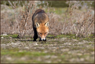 Red Fox (image 3 of 4)