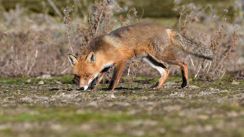 Red Fox (image 1 of 4)