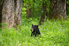 Eat Your Greens! A black bear in Cades Cove, Tennessee | Judy Royal Glenn Photography