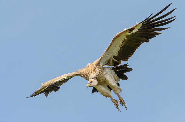 Vulture dives in