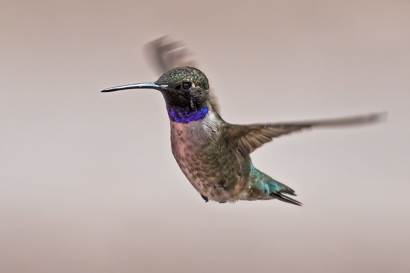 Black-chinned-Hummer-4-7D2-052519