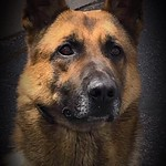"""May 29, 2019 - 12:07 - Photographer:  Chris Kamps  Date Taken: May, 2019  Brief Description:  This is our K-9 Deputy Helo.  Helo is a Belgian Malinois, and is fairly new to our department.  He has adapted very well to his new surroundings and life.  K-9 Deputy Helo is great with kids, and makes regular visits to our school district.  The Vilas County Sheriff's Office even has a 5K Walk/Run dedicated to Helo, the """"Helo 5K Walk/Run"""", which is pet friendly, and will be held in September 2019, our second year running.  K-9 Deputy Helo is a beauty and in this picture it definitely shows!  Name of Individuals in the Image:  K-9 Deputy Helo  Sheriff's Office: Vilas County Sheriff's Office City/County and State:  Eagle River, Vilas County, Wisconsin"""