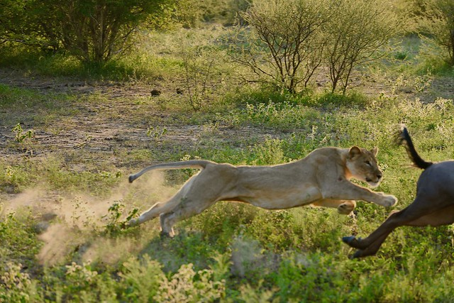 hunting Lioness (6): the Lioness launches herself