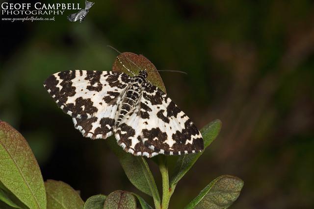 Argent & Sable (Rheumaptera hastata)