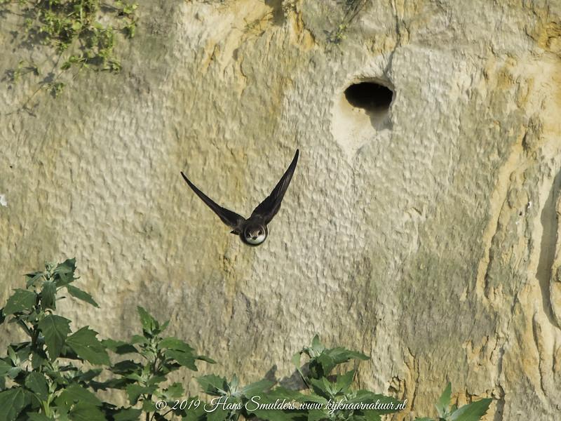 Oeverzwaluw (Riparia riparia)-819_2182