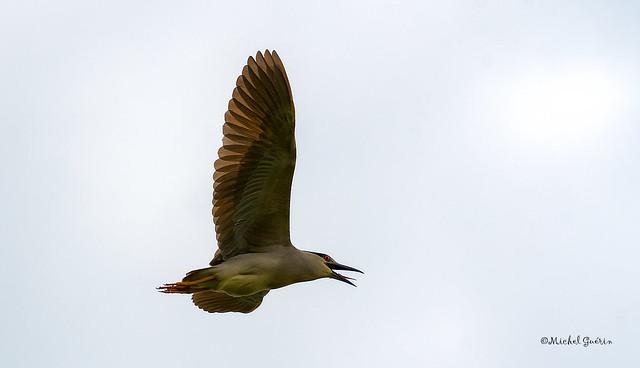 Bihoreau gris - Black-crowned Night-Heron - Nycticorax nycticorax