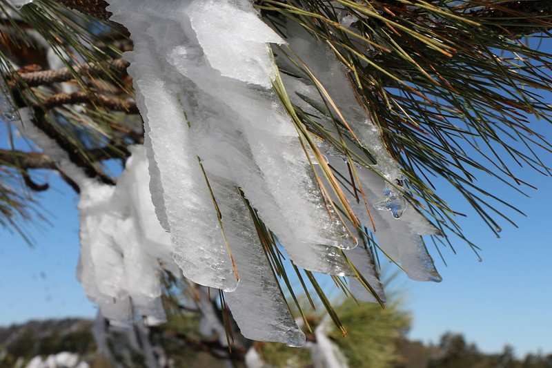 Close-up of the Rime Ice as it formed on individual Pine Needles