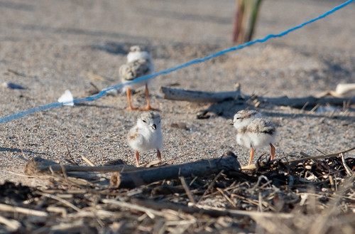 Baby Piping Plover