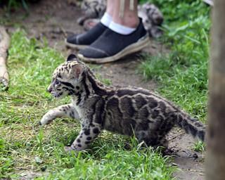 Clouded leopard cub 32
