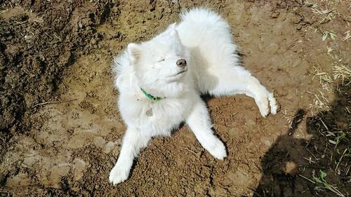 The Dog Enjoying Her New Mud Pit
