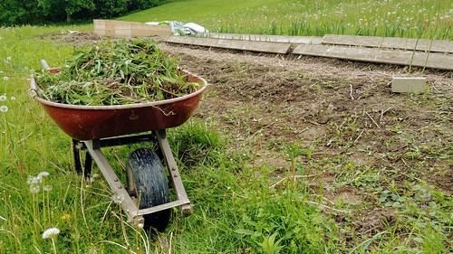 A wheelbarrow of weeds, after Memorial Day Weekend neglect