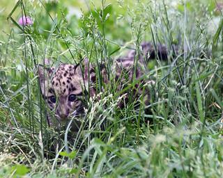 Clouded leopard cub 42