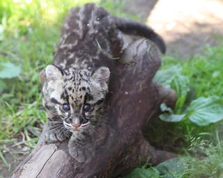 Clouded leopard cub 107