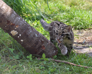 Clouded leopard cub 139